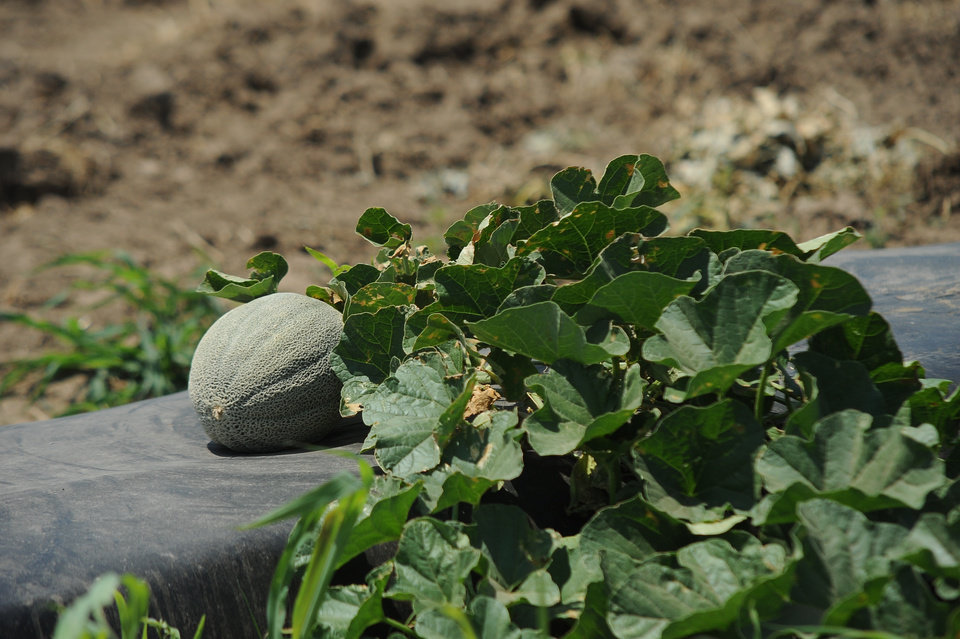 Photo -  A sweet fragrance is obvious when smelling the rind of a ripe cantaloupe. [PHOTOS PROVIDED BY OSU EXTENSION]