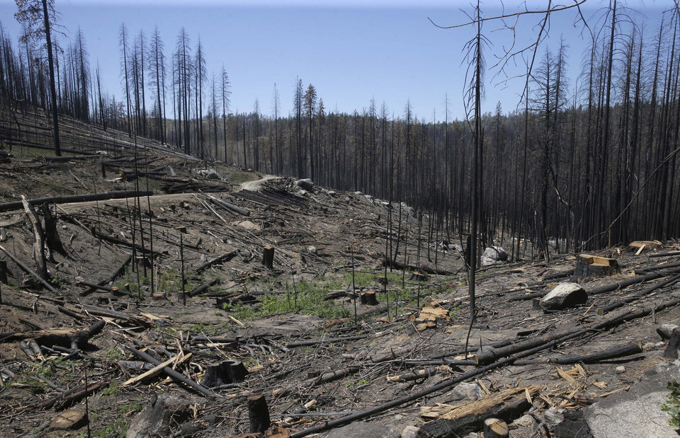 Photo - In this Friday, July 25, 2014 photo, trees destroyed by 2013's Rim Fire, in the Stanislaus National Forest near Groveland, Calif.  Nearly a year after the Rim Fire charred thousands of acres of forest in California's High Sierra, a debate rages over what to do with the dead trees, salvage the timber to pay for forest replanting and restoration or let nature take its course. Environmentalist say that the burned trees and new growth beneath them create vital habitat for dwindling bird such as spotted owls, and black-backed woodpeckers and other wildlife. (AP Photo/Rich Pedroncelli)