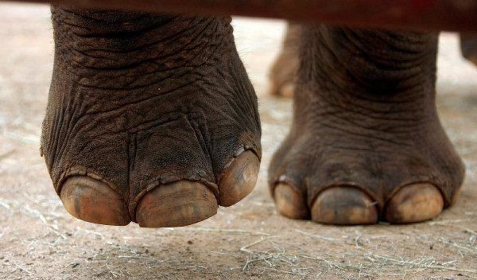 Elephants have unique foot care needs. Keepers must do routine preventive care on elephant nails and food pads. <strong>SARAH PHIPPS - THE OKLAHOMAN ARCHIVE</strong>