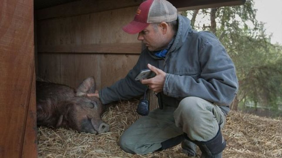 Photo -  John Chester tends to Emma the pig in a scene from the documentary