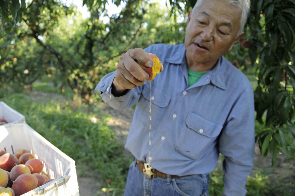 Photo - In this photo taken on Friday, June 7, 2013, farmer David Mas Masumoto squeezes a freshly harvested peach in his orchard in Del Rey, Calif. Masumoto, who farms 35 acres of organic peaches and nectarines and has just co-authored a cookbook with his wife and daughter, says Americans have forgotten what a juicy, gushy peach tastes like in the era of corporate farming. (AP Photo/Gosia Wozniacka)