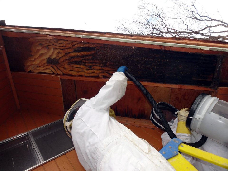 Photo - In this early April 2013 photo provided by Ogden beekeeper Vic Bachman, Bachman, left, assisted by partner Nate Hall, uses a vacuum cleaner to collect about 60,000 honeybees from a 12-foot-long beehive from an A-frame cabin in Eden, Utah. It was the biggest beehive the Utah beekeepers have ever removed. (AP Photo/Courtesy Vic Bachman)