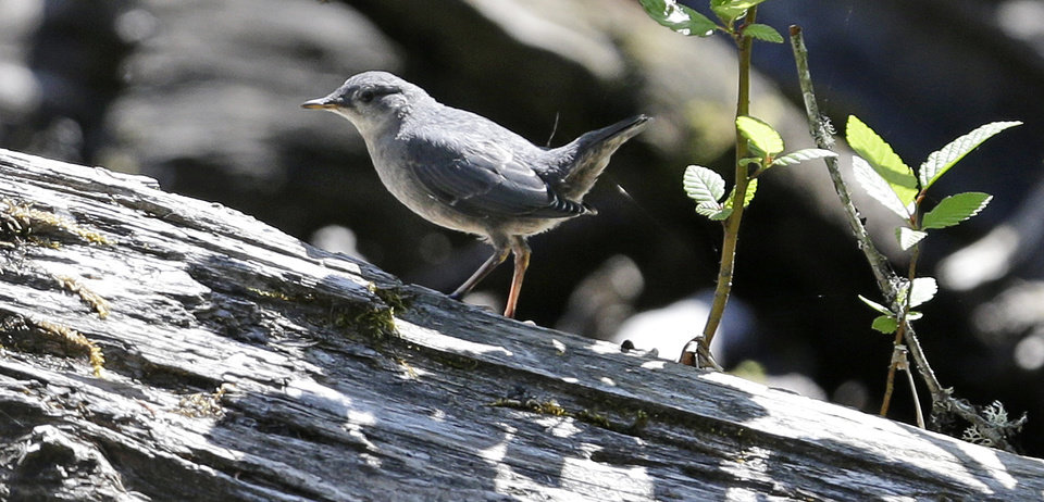 Photo - In this June 3, 2014 photo, an American dipper sits on a log above a tributary of the Elwha River near Port Angeles, Wash. The final chunks of concrete are expected to fall this September in the nation's largest dam removal project, but nature is already reclaiming the river. (AP Photo/Elaine Thompson)