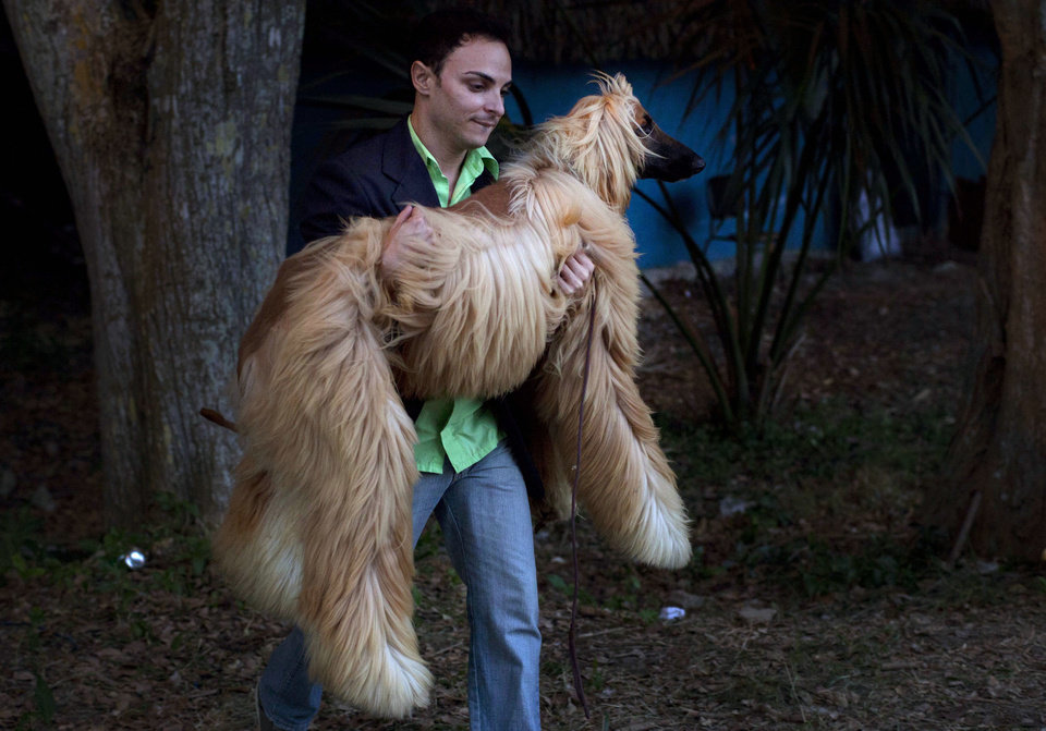 In this Nov. 23, 2012 photo, a man carries his Afghan hound named Abel to keep him from getting dirty before showing him at the Fall Canine Expo in Havana, Cuba. Hundreds of people from all over Cuba and several other countries came for the four-day competition to show off their shih tzus, beagles, schnauzers and cocker spaniels that are the annual Fall Canine Expo�s star attractions. (AP Photo/Ramon Espinosa)