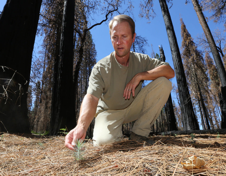 Photo - In this Friday, July 25, 2014 photo, Chad Hanson, of the John Muir Project, inspects a young Ponderosa Pine tree growing in an area destroyed by 2013's Rim Fire, near Groveland, Calif.  Nearly a year after the Rim Fire charred thousands of acres of forest in California's High Sierra, a debate rages over what to do with the dead trees, salvage the timber to pay for forest replanting and restoration or let nature take its course. Hanson and other environmentalist say that the burned trees and new growth beneath them create vital habitat for dwindling bird such as spotted owls, and black-backed woodpeckers and other wildlife. (AP Photo/Rich Pedroncelli)