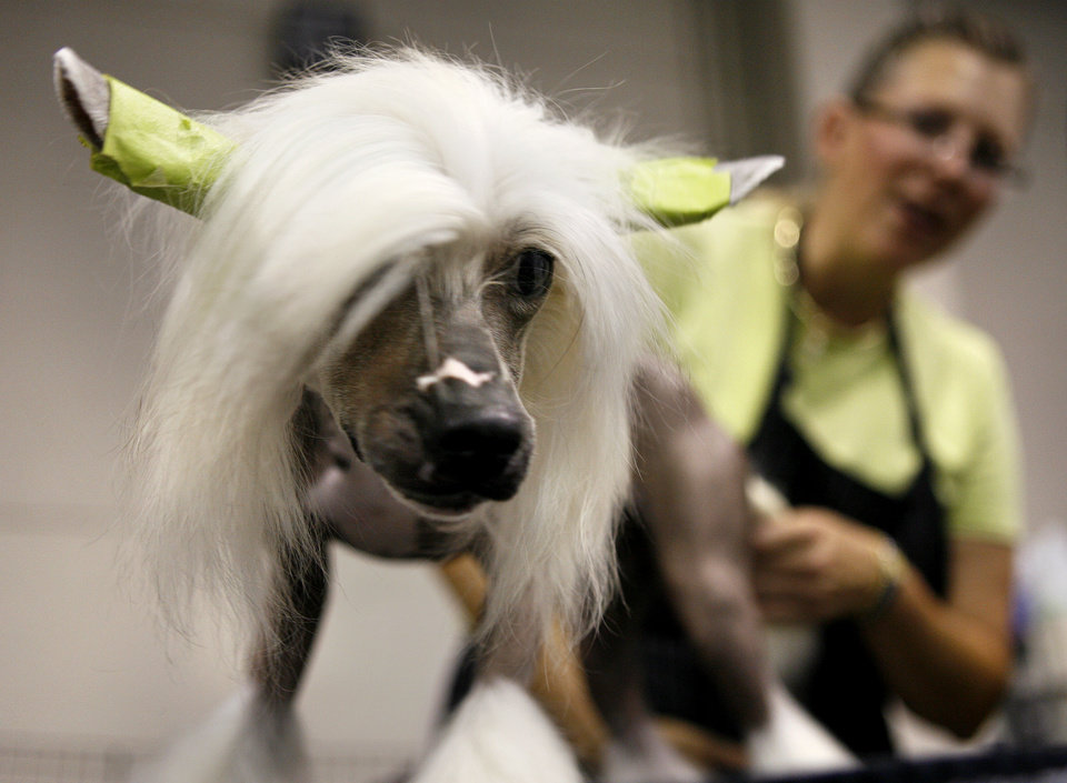 Photo - OKC SUMMER CLASSIC DOG SHOW / GROOM / GROOMING: Ditto, a Chinese crested, is groomed by owner Chris Ann Moore during the Oklahoma City Dog Show at the Cox Convention Center in Oklahoma City Thursday, June 25, 2009.  Photo by Ashley McKee, The Oklahoman   ORG XMIT: KOD