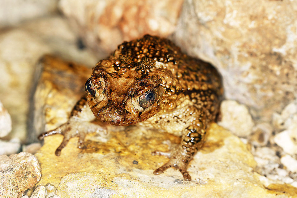 Photo - A Puerto Rican crested toad in its habitat at the Oklahoma City Zoo, Thursday, Feb.  23,  2012. Photo By Steve Gooch, The Oklahoman