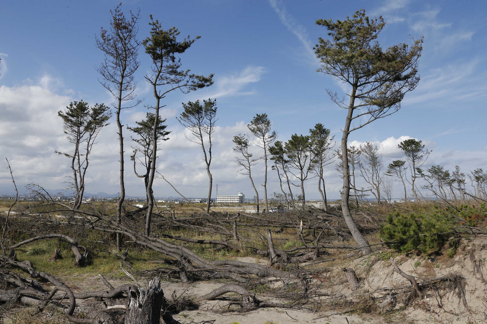 Photo -   In this Oct. 9, 2012 photo, dying pine trees, part of the windbreak forest severely damaged by March 11, 2011 earthquake and tsunami, stand near the Arahama beach in Sendai, northeastern Japan. Japan's accounting of its budget for reconstruction from the disasters is crammed with spending on unrelated projects, while all along Japan's northeastern coast, dozens of communities remain uncertain of whether, when and how they will rebuild. (AP Photo/Koji Sasahara)