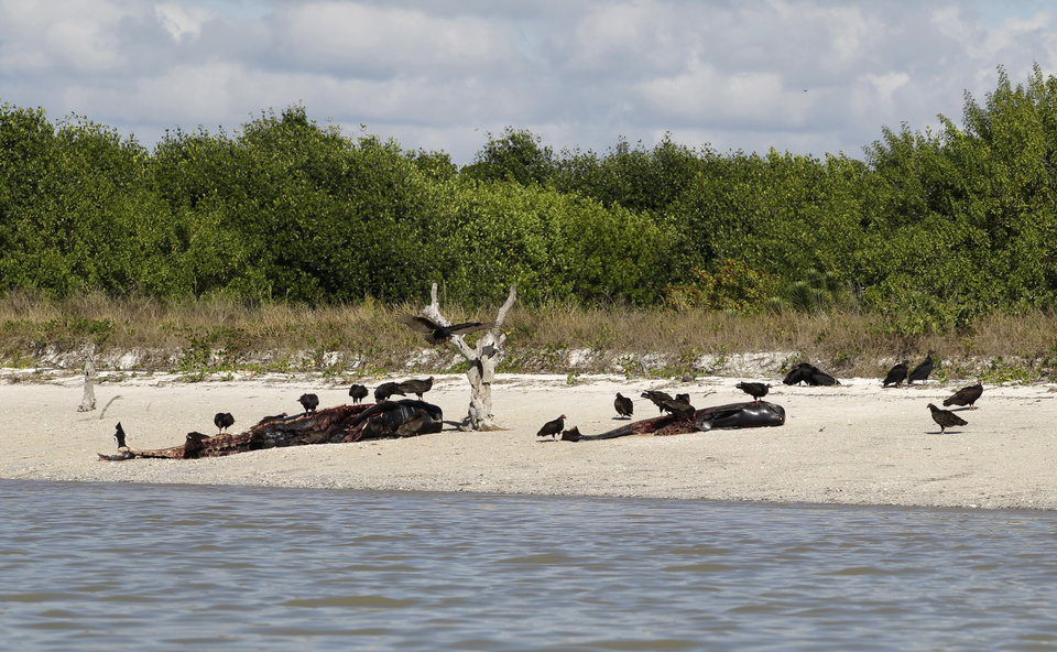 Vultures feed off the carcasses of an adult whale and and a calf ,Thursday, Dec. 5, 2013, at Highland Beach in the Everglades National Park, Fla. Wildlife officials prepared Thursday to use sound and other herding techniques to try to save pilot whales in danger of stranding as a glimmer of hope emerged for at least 20 of the animals spotted swimming in life-saving deeper water. (AP Photo/Alan Diaz, Pool)