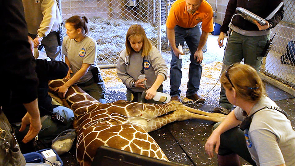 Photo - Kyah, Oklahoma City zoo giraffe being prepared for a heart ultrasound. Melinda Lay, hoofstock team, Dr. D'Agostino, Dr. Todd Holbrook, large animal veterinarian, OSU and Jaimee Flinchbaugh, hoofstock supervisor. Provided