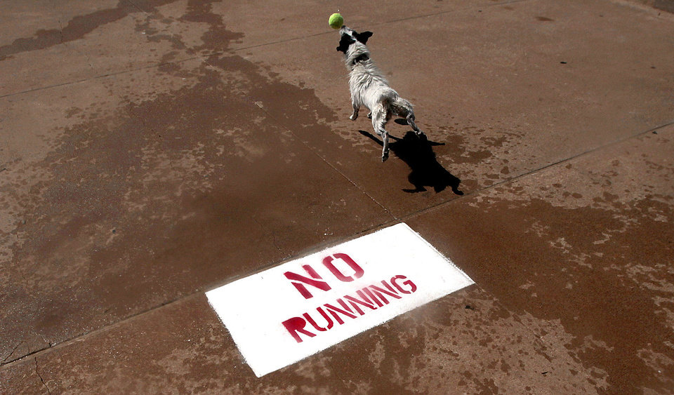 Despite the nearby warning against running painted on the concrete, a dog chases a tennis ball Sunday during the party. PHOTO BY SARAH PHIPPS, THE OKLAHOMAN