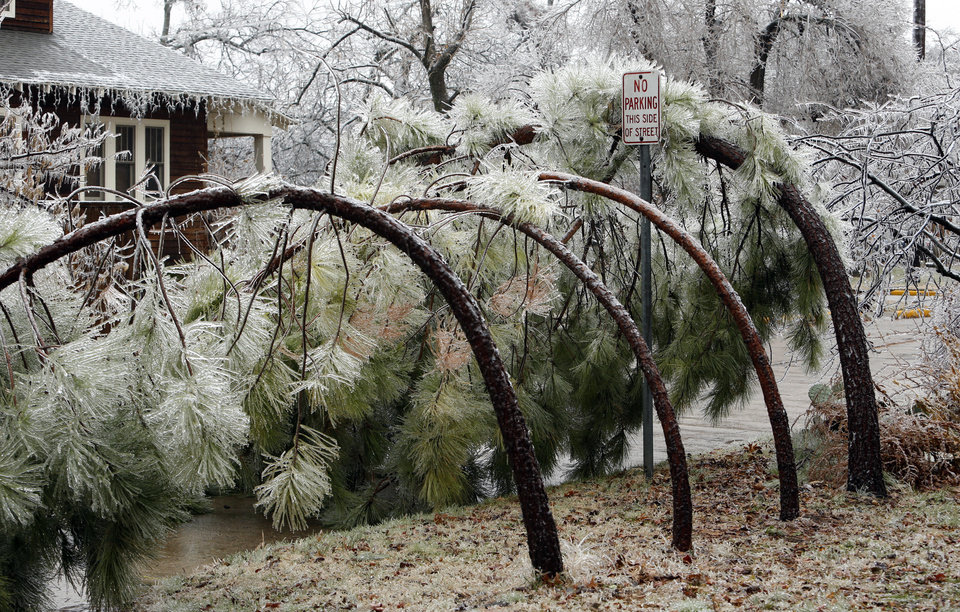Photo - Bent pine trees block Park Street after a winter storm coated trees with a thick layer of ice on Saturday, Dec. 21, 2013 in Norman, Okla.  Photo by Steve Sisney, The Oklahoman