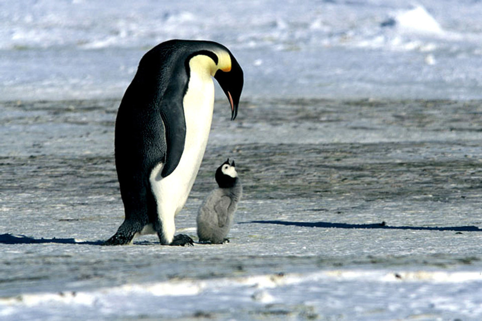 Photo - In this photo provided by Warner Independent Pictures, the life of the emperor penguin is doccumented, as they trek across the Antarctic on an annual journey in the documentary movie