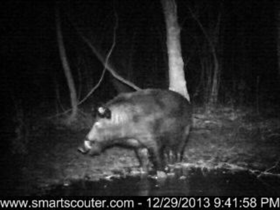 Photo - This Dec. 29, 2013 trail camera photo provided by trapperjohnschmidt.com shows a large feral hog as it forages near a trap set by trapper John Schmidt in New Orleans. An estimated 5 million swine, descendants of both escaped domestic pigs and wild Eurasian boars imported by hunters, do about $800 million in damage a year to farms nationwide. Damage outside farms and population control bring the annual total to $1.5 billion. A preservative used to cure bacon is being tested as poison for feral hogs. Scientists with U.S. Department of Agriculture say sodium nitrite may be the best chance for controlling the big, prolific animals, which cost the U.S. about $1.5 billion a year_ including $800 million in farm damage.  (AP Photo/trapperjohnschmidt.com, John Schmidt)