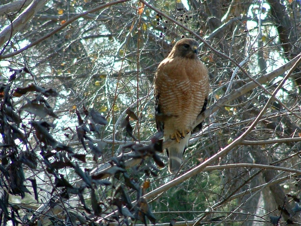 This female Red Shouldered Hawk, a frequent visitor to our back yard in Midwest City, often stops by for brunch.  She's magnificent.<br/><b>Community Photo By:</b> Sandy Hill<br/><b>Submitted By:</b> Sandy,