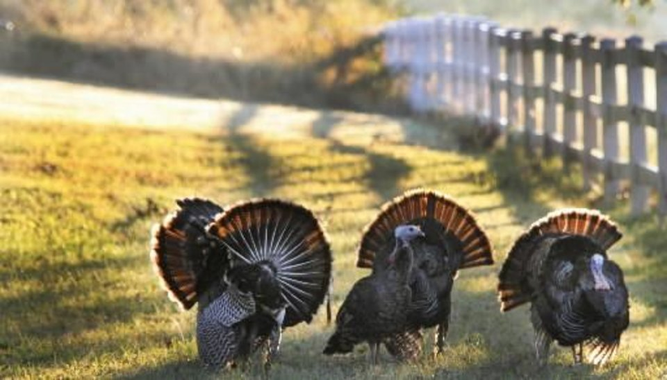 Photo -  Spring turkey season opens Sunday in most of the state