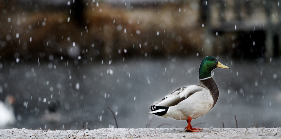 A mallard duck walks around a pond as snow falls in Yukon, Tuesday February 12, 2013. Photo By Steve Gooch, The Oklahoman