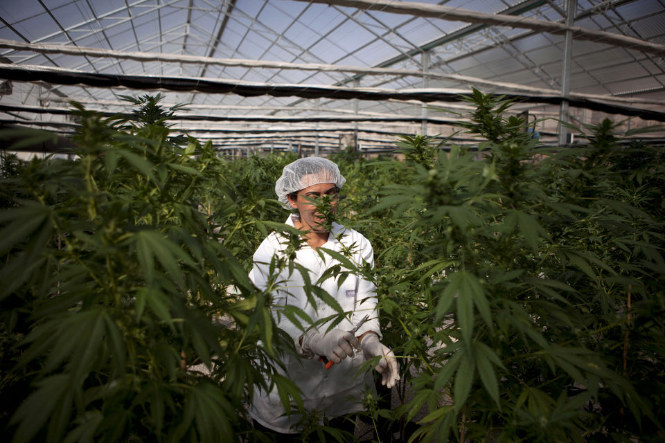 Photo -   In this photograph made on Thursday, Nov. 1, 2012, an Israeli woman works at Tikkun Olam medical cannabis farm, near the northern Israeli city of Safed, Israel. Marijuana is illegal in Israel but medical use has been permitted since the early nineties for cancer patients and those with pain-related illnesses such as Parkinson's, Multiple Sclerosis, and even post-traumatic stress disorder. (AP Photo/Dan Balilty)