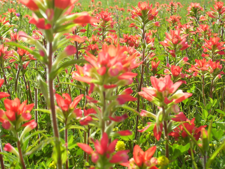 Field of Indian Paintbrush, Prague Oklahoma.<br/><b>Community Photo By:</b> SHARI JOHANNING<br/><b>Submitted By:</b> SHARI, BETHANY