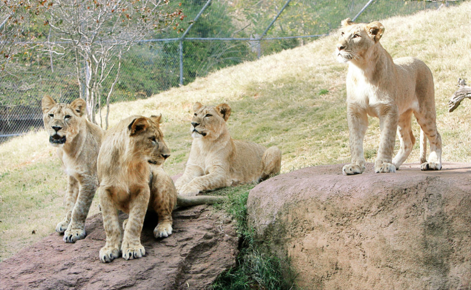 From left, lion cubs Kalliope, Xerxes, Zari and Malaika are celebrating their first birthday this week at the Oklahoma City Zoo. Photo by PAUL HELLSTERN, the oklahoman