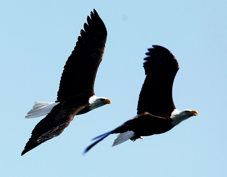 Photo - Bald eagles fly near the Inian Islands in Southeast Alaska, Wednesday, June 6, 2012.  Photo by Sarah Phipps, The Oklahoman