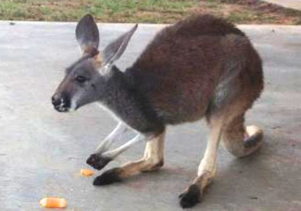 This photo of the 11-month-old pet kangaroo Lucy Sparkles was taken on Thanksgiving morning. That evening, the pet went missing from her home in Shawnee. PHOTO PROVIDED <strong> - photo provided</strong>