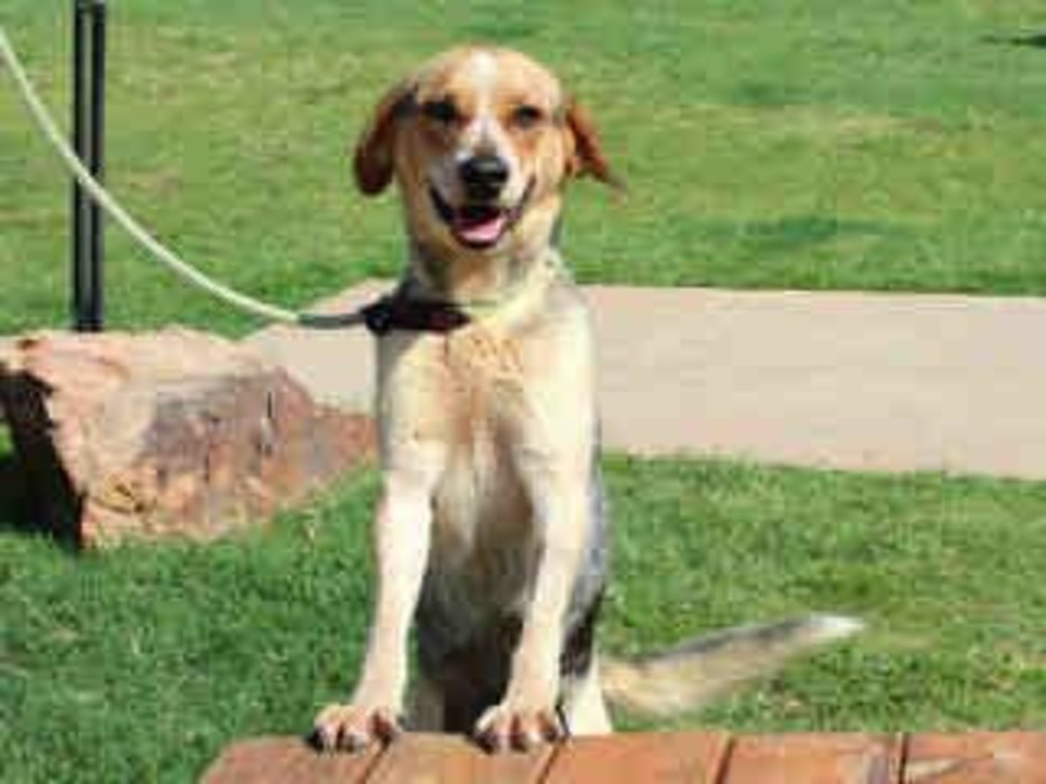 Sandy is a well-mannered German shepherd hound mix.  She likes to go for walks and sit at your feet.  She is calm and would make a wonderful companion. Sandy is 4 years old and weighs about 40 pounds and is available at the Edmond Animal Welfare Shelter.   <strong></strong>