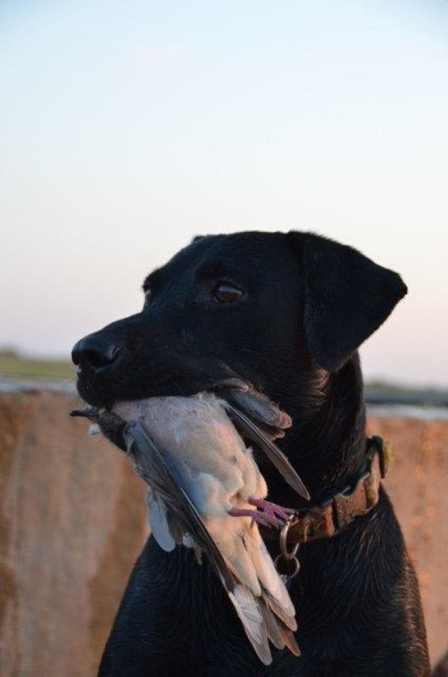 Photo - A good retriever will enjoy a dove shoot as much as his owner   - Photo by Wade Free