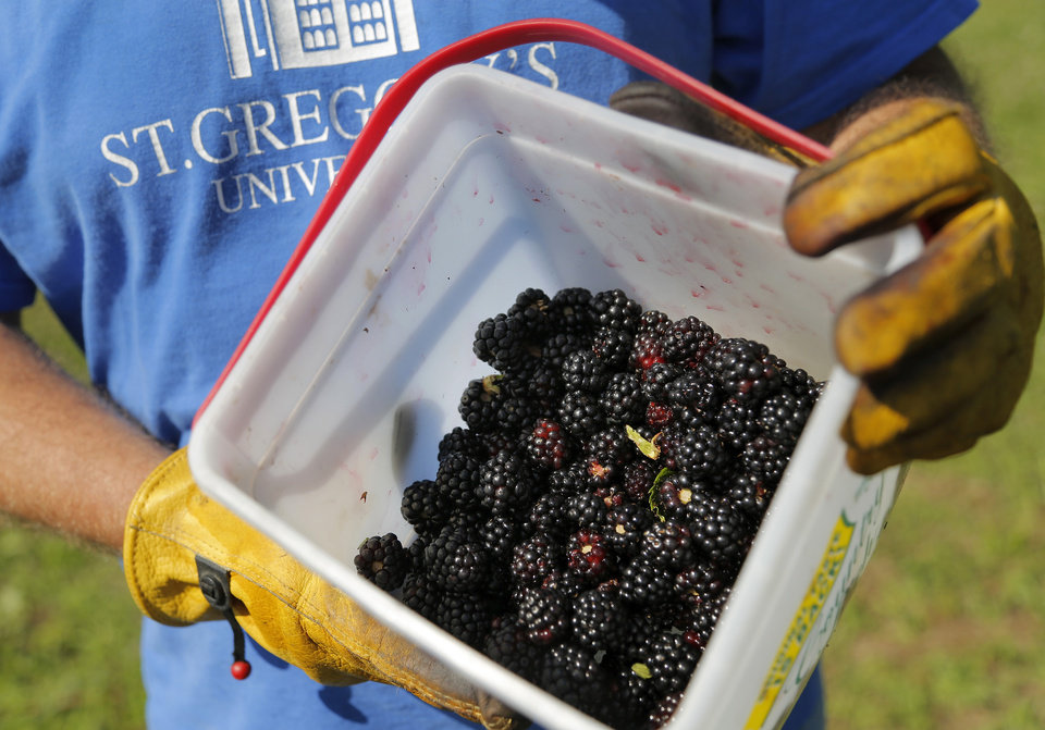 Photo -  The Rev. Simeon Spitz, a Benedictine monk at St. Gregory's Abbey in Shawnee, harvests blackberries cultivated on abbey grounds. Photo by Jim Beckel, The Oklahoman   Jim Beckel