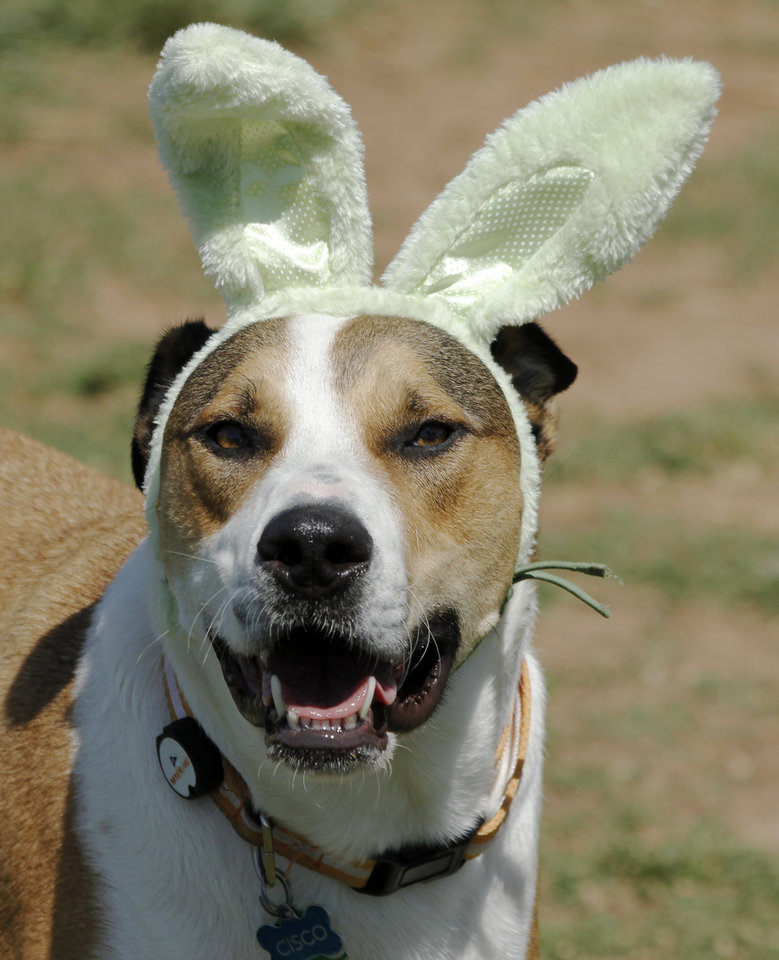 Photo - Cisco, a mix rescue dog, owned by Casey Lopez, sports rabbit ears during the first Hound Hunt, an Easter Egg hunt for dogs inside the dog park at Bick ham-Rudkin Park in Edmond Sunday April 1, 2012. The eggs are filled with dog treats. Photo by Doug Hoke, The Oklahoman