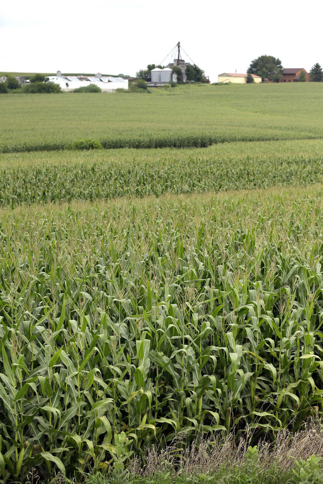 Photo - In this Aug. 5, 2014 photo corn plants are seen in a field near Ladora, Iowa. The nation's corn and soybean farmers are on track to produce record crops this year as a mild summer has provided optimum growing conditions. (AP Photo/Charlie Neibergall)