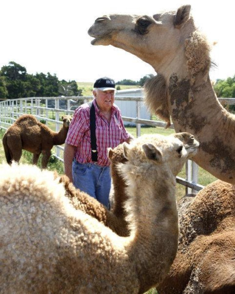 Photo - Oklahoma camel rancher Ralph Passow walks among some of his camels at his farm in Perry. He said the females are gentle but an uncastrated male once killed his horses. PHOTO BY PAUL HELLSTERN, THE OKLAHOMAN  PAUL HELLSTERN