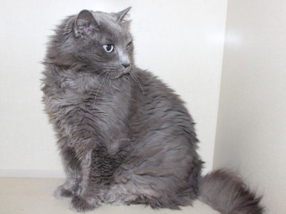 Photo -  This beautiful, gray spayed female domestic shorthair cat is looking for her forever home. She is about 6 years old and has a lot of life left to live. Purrcilla is available for adoption from the Edmond Animal Welfare Shelter, 2424 Old Timbers Drive. Her adoption fee is $25. Call 405-216-7615. [PHOTO PROVIDED]