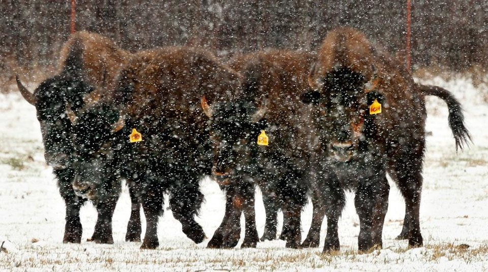 Hybrid buffalo graze in snow-covered fields off State Highway 9 on Tuesday, Feb. 12, 2013 near Blanchard, Okla.  Photo by Steve Sisney, The Oklahoman