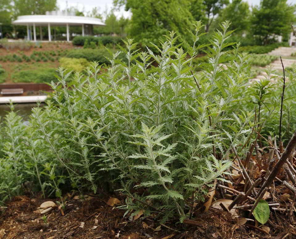 Photo -  Russian sage growing at the Myriad Gardens. [PHOTO BY PAUL HELLSTERN THE OKLAHOMAN]