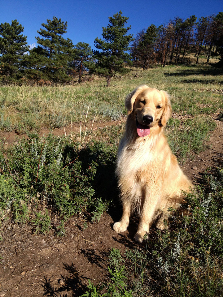 Photo - This summer 2012 photo provided by Colorado State University, shows a golden retriever, Louie Mesinger, resting on a trail during a hike outside of Boulder, Colo. The Golden Retriever Lifetime Study will be the largest and longest study of dogs ever conducted. For Louie and 2,999 other purebred golden retreivers who are chosen over the next two years, their lives, usually a 10-to-14-year life span, will be tracked for genetic, nutritional and environmental risks to help scientists and veterinarians find ways to prevent canine cancer. (AP Photo/Colorado State University, Josh Mesinger)
