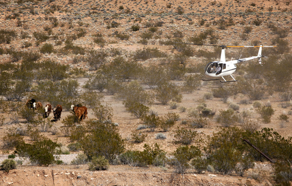 Photo - Contractors for the Bureau of Land Management round up cattle belonging to Cliven Bundy with a helicopter near Bunkerville, Nev. Monday, April 7, 2014. The Bureau of Land Management has begun to round up what they call