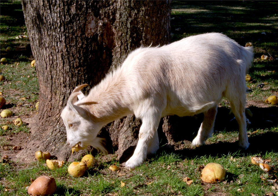 A Goat enjoying pears at the Will Rogers Birthplace Home.<br/><b>Community Photo By:</b> Eldon Harris<br/><b>Submitted By:</b> Eldon, Bethany