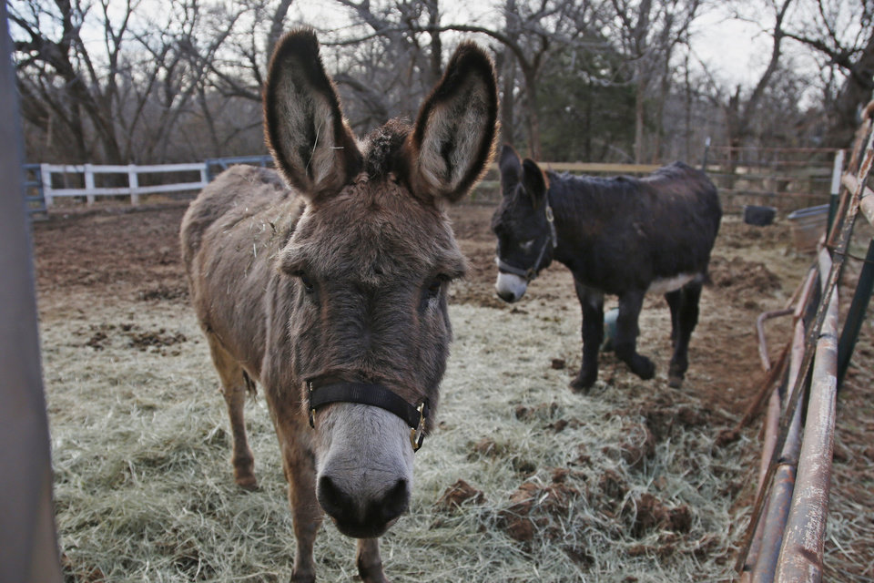 Photo -  A bonded pair of donkeys are shown at Nexus Equine in Edmond. The pilot facility already has taken in more than 50 animals, mostly horses, but also some donkeys. [AP Photos/Sue Ogrocki]