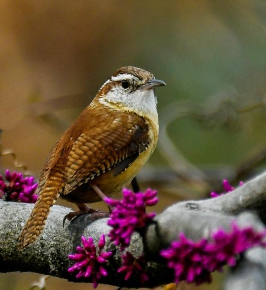 Photo -  A Carolina wren sits on a redbud tree; redbuds support numerous insect species. [JANE GAMBLE]