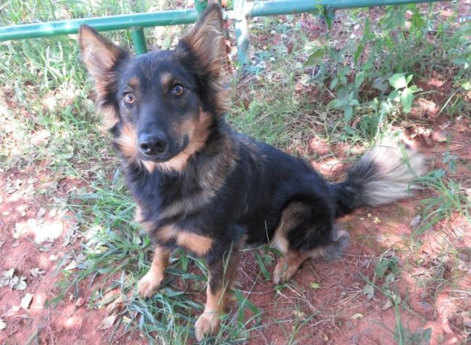 Photo -  Gizelle is a small version of a German shepherd. She is 2 years old and weighs 42 pounds. She is friendly and easygoing and likes other dogs. Gizelle's number at the Oklahoma City Animal Shelter is 316266, and her adoption fee is $60. All pets are spayed or neutered, have a microchip, and have had age-appropriate shots and a health check. The shelter is open from noon to 5:30 p.m. seven days a week at 2811 SE 29. For more information, go to www.okc.petfinder.com and www.okc.gov. [PHOTO PROVIDED]