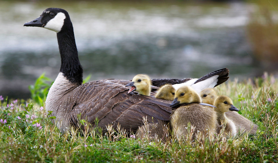 Photo - A mother goose keeps her goslings warm and dry as they sit near a pond in front of the old Lexington Mall on Richmond Road shortly after a strong storm moved through the area in Lexington, Ky., Wednesday, April 27, 2011. (AP Photo/The Lexington Herald-Leader, Charles Bertram)