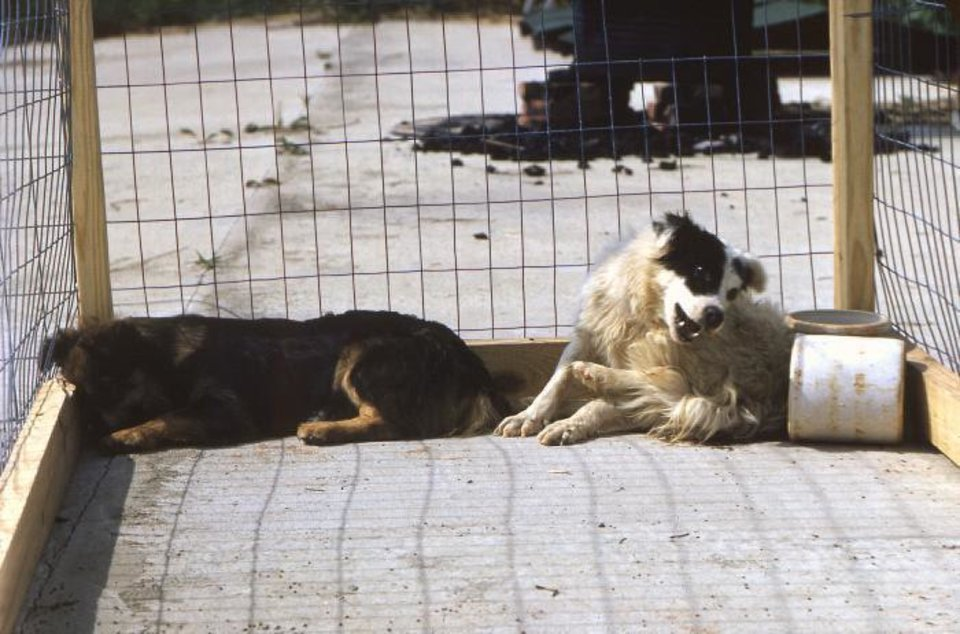Photo - Dogs afflicted with rabies sit in isolation.  Domesticated animals afflicted with rabies might become increasingly depressed, and try to hide in isolated places, while wild animals seem to lose their fear of human beings, often appearing unusually friendly. Centers for Disease Control and Prevention photo
