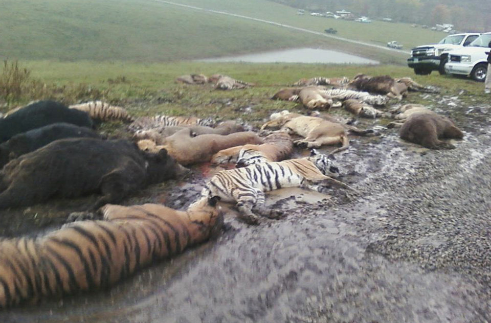 Photo -   FILE - In this Oct. 19, 2011 file photo obtained by The Associated Press, carcasses lie on the ground at the Muskingum County Animal Farm in Zanesville, Ohio. More than two dozen tigers, leopards and lions were hunted by sheriff's deputies after Terry Thompson freed the animals on Oct. 18, 2011 before killing himself. Legislation has been proposed in Congress that would ban private ownership of exotic cats. Ohio and other states are also looking to outlaw the animals or to keep them more tightly controlled. (AP Photo, File)