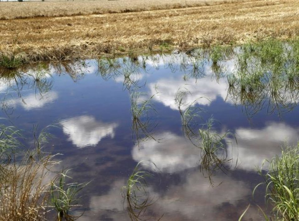 Photo -  An expansive field of wheat is reflected by this pool of water left behind by rains the night before. [JIM BECKEL/THE OKLAHOMAN]