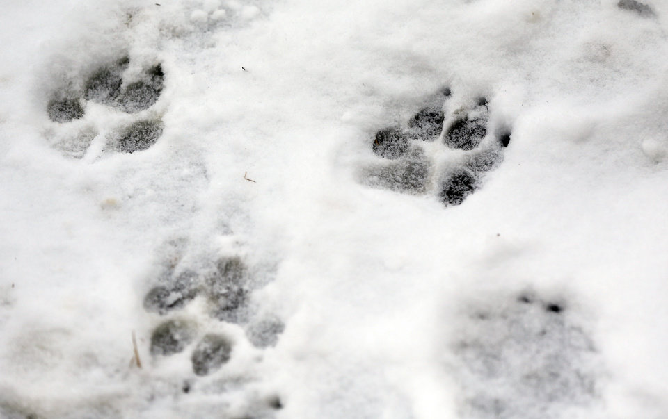 Photo - Dog foot prints in snow after a winter storm in Oklahoma City, Sunday, Feb. 2, 2014. Photo by Nate Billings, The Oklahoman