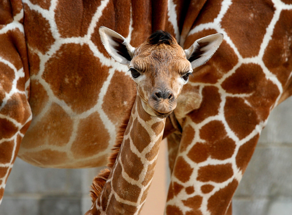 In this Sept. 23, 2012 photo provided by Utah's Hogle Zoo, mother giraffe Kipenzi stands behind her baby girl shortly after birth. The new baby giraffe and her mother went on display at Utah's Hogle Zoo for the first time on Oct. 3, 2012. (AP Photo/Utah's Hogle Zoo)