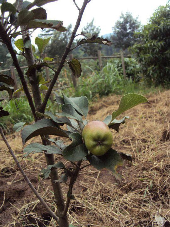 Photo - A tree in an Apples for Africa orchard in Rwanda bears an apple. Photo provided