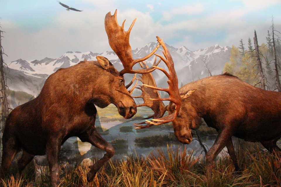 Photo -  Two bull moose fighting are just one of the stunning 4D dioramas showcased in Johnny Morris' Wonders of Wildlife National Museum and Aquarium in Springfield, Missouri. [PHOTO BY LINDA LYNN, THE OKLAHOMAN]