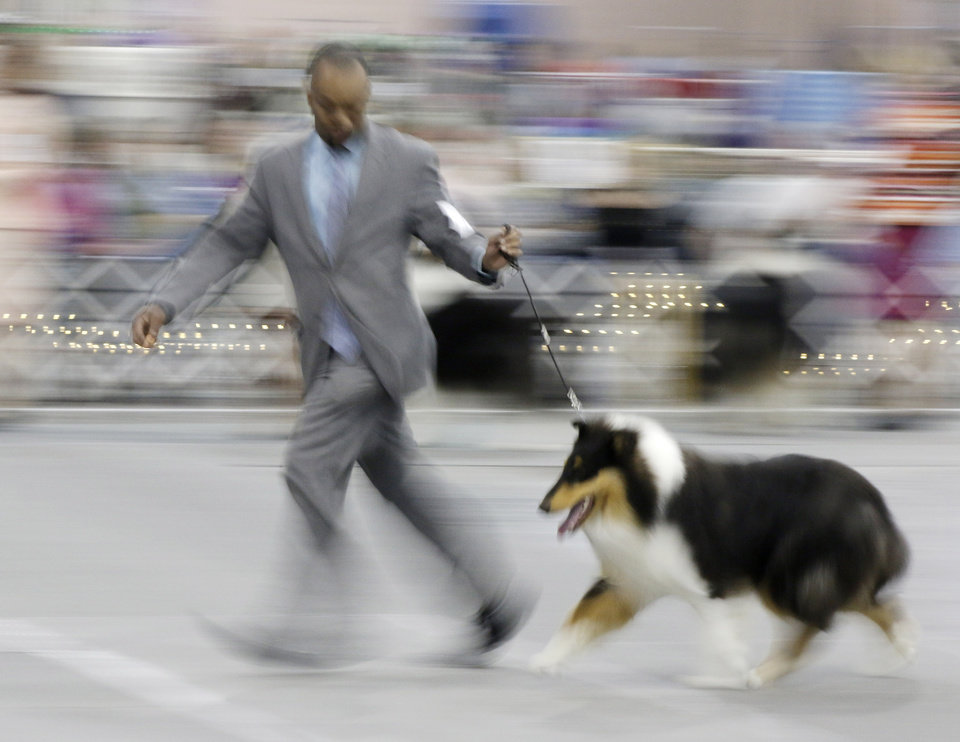 Photo - Clearence Lee, and agent who lives in Sand Springs, shows a rough cryptic merle at the Collie Club of America dog show at the Cox Convention Center in  Oklahoma City, walk their dogs in the Myriad Botanical Gardens, Wednesday, March 11, 2015. Photo by Doug Hoke, The Oklahoman